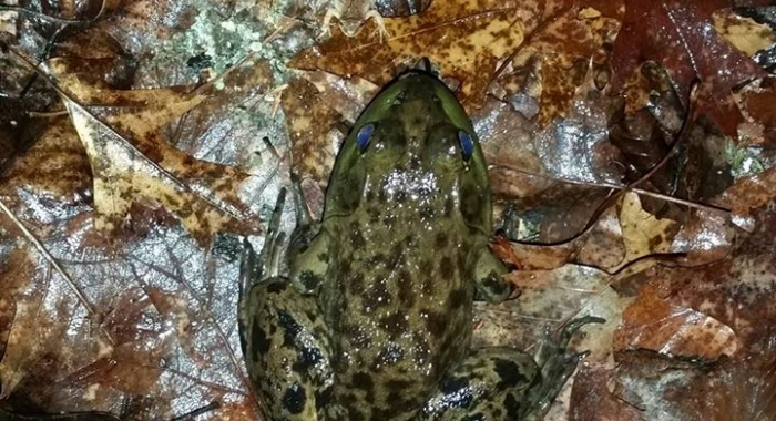 Bull Frog and Spring Peeper